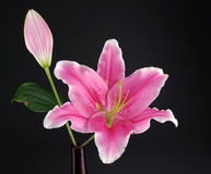 Pink lily Royalty Free Stock Photography