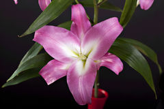 Pink lily. Pink flower lily on black backgroung Stock Images
