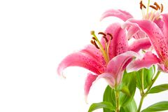 Pink lily Stock Images