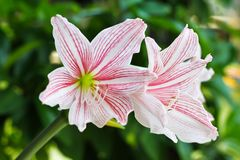 Pink lily. Two Pink and white lily Royalty Free Stock Images