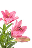 Pink lily Royalty Free Stock Image