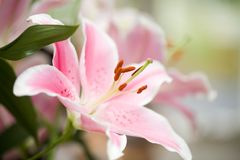 Pink lily Stock Photography