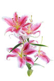 Pink lily Stock Photo