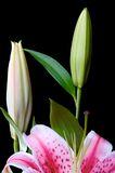 Pink Lily. Against a black background Stock Image