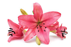 Pink lily. Isolated on white background Royalty Free Stock Images