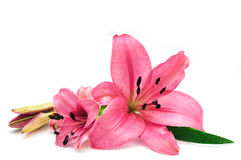 Free Pink Lily Stock Image - 6281701