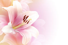 Pink lily background with copy space Stock Photos