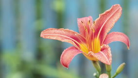 Pink lily stock footage