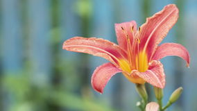 Pink lily stock video