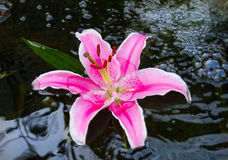 Pink lily . Beautiful pink variegated lily Stock Photo