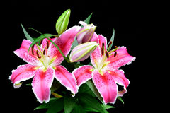 Pink lily on black background Royalty Free Stock Images