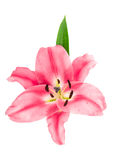 Pink lily blossom. fresh flower head. Pink lily blossom isolated on white background. fresh flower head Stock Photo