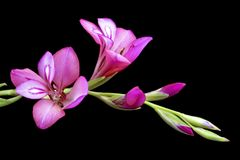 Pink lily blossoming Stock Photography