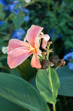 Pink Lily with blurred out back ground. Stock Photography