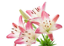 Pink lily bouquet Royalty Free Stock Photos