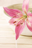 Pink lily on the bowl Stock Images