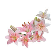 Pink Lily Bundle Royalty Free Stock Images