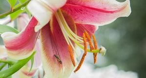 Pink lily close-up and bee. A pink rain lily flower with tiny bees.  stock image