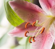 Pink lily Royalty Free Stock Photos