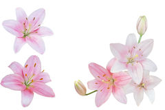 Pink Lily Colleage Stock Images