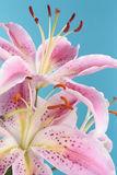 Pink lily detail overe blue Stock Photo