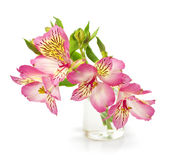 Pink lily with drops of dew in a vase Stock Photos