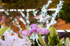 Pink lily field and bokeh light background at night garden Royalty Free Stock Photos