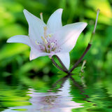 Pink lily with flood Stock Image