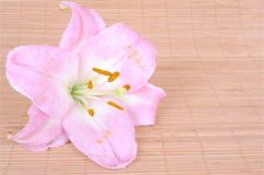 Pink lily flower Stock Photography