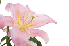 Pink lily flower. Isolated on white background Royalty Free Stock Photos