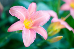 The pink lily flower. In the park in Paris, France Royalty Free Stock Image
