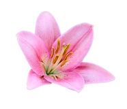 Pink Lily flower. Pink Lily flower isolated on a white background Stock Image