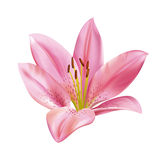 Pink lily flower. Vector detailed illustration for best prints and other uses Stock Photography