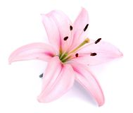 Free Pink Lily Flower Stock Image - 42402891