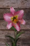Pink lily flower on the background of an old board Stock Image