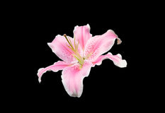Pink lily flower on black background. With clipping path Stock Images