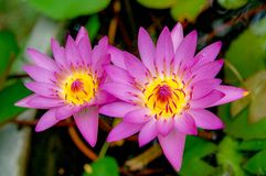 Water Lily or Asia Lotus Flower with pink and white yellow colour blooming over water. Pink Lily flower blooming over water with beautiful colour stock photos