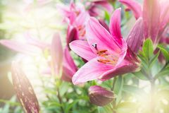 Pink lily flower with blurred background. Stock Image