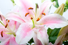 Pink lily flower bouquet Royalty Free Stock Image
