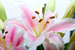 Pink lily flower bouquet Stock Photography