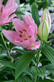 Pink Lily and Flower Buds 2 Stock Images