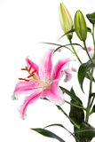 Pink Lily flower Royalty Free Stock Photo