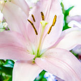 Pink lily flower closeup Stock Image