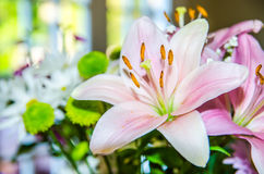Pink lily flower closeup Royalty Free Stock Photos