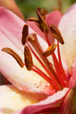 Pink lily flower closeup view. Royalty Free Stock Images