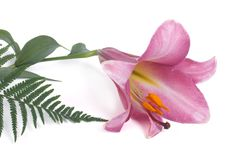 Pink lily flower and fern leaf isolated on white Royalty Free Stock Image
