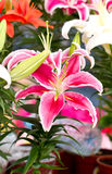 Pink Lily Flower. Stock Photography