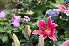 Pink lily flower in garden. blooming flora. flowerbed in park. Blossom in spring stock image