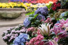 Pink lily flower in garden. blooming flora. flowerbed in park. Blossom in spring stock photos
