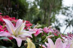 Pink lily flower in garden. blooming flora. flowerbed in park. Blossom in spring stock photography